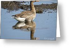 Great White Fronted Goose Greeting Card