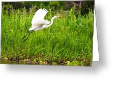 Great White Heron Takeoff Greeting Card