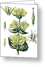 great yellow gentian, Gentiana lutea Greeting Card