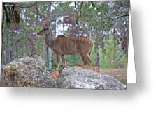 Greater Kudu Female - Rdw002756 Greeting Card
