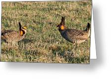 Greater Prairie Chicken Males 1 Greeting Card