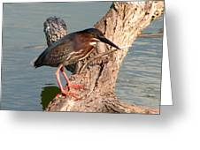 Green Heron 1 Greeting Card