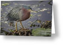 Green Heron 52 Greeting Card