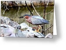 Green Heron . 7d614 Greeting Card