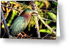 Green Heron At Green Cay Wetlands Greeting Card