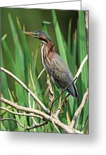Green Heron At The Governor's Palace Gardens Greeting Card