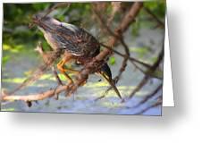 Green Heron Brazos Bend State Park Greeting Card
