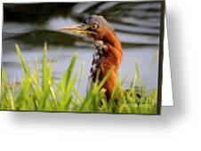 Green Heron Closeup  Greeting Card