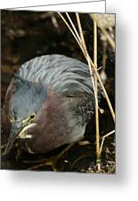 Green Heron Hunting Greeting Card