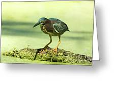 Green Heron In Green Algae Greeting Card