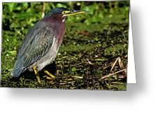 Green Heron In Swampy Water Greeting Card