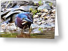 Green Heron Male Greeting Card