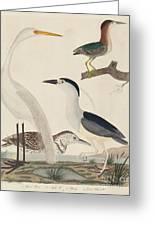 Green Heron, Night Heron, Young Heron, And Great White Heron Greeting Card