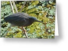 Green Heron On Stilts Greeting Card