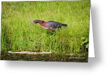 Green Heron On The Hunt Greeting Card