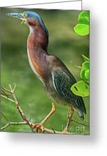 Green Heron Pose Greeting Card
