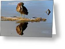 Green Heron Preening Greeting Card