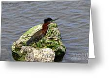 Green Heron Ruffled Feathers Greeting Card
