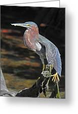 Green Heron Sretching Wing Greeting Card
