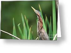 Green Heron Watches Greeting Card
