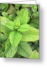 Green Mint Leaves Greeting Card