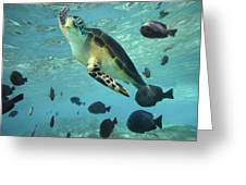 Green Sea Turtle Balicasag Island Greeting Card