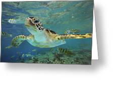 Green Sea Turtle Chelonia Mydas Greeting Card