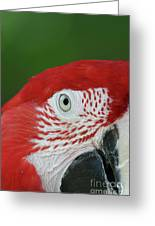 Green-winged Macaw Close Up Greeting Card