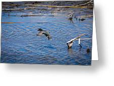 Green-winged Teal 4 Greeting Card