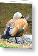 Green Winged Wood Duck 2 Greeting Card