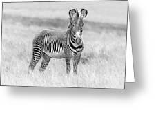 Grevy Zebra  5953bw Greeting Card