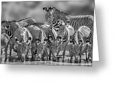 Grevy Zebra Party  7528bw Greeting Card