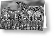 Grevy Zebra Party  7528bwc Greeting Card