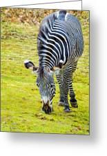 Grevys Zebra Right Greeting Card
