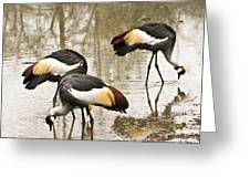 Grey Crowned Crain Of Africa 5 Greeting Card