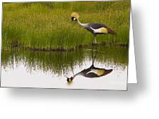 Grey Crowned Crane - Signed Greeting Card