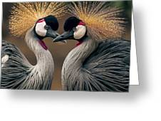 Grey Crowned Cranes Of Africa Greeting Card