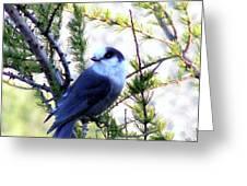 Grey Jay In A Juniper Tree Greeting Card