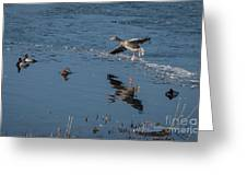 Grey Lag Goose Comes Into Land Greeting Card