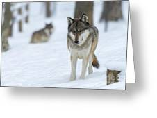 Grey Wolf In Snow With Wolf In Distance Greeting Card by Dan Friend