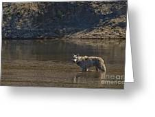 Grey Wolf In The Yellowstone River-signed-#4363 Greeting Card