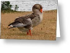 Greylag Goose 2 Greeting Card