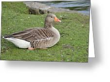 Greylag Goose Resting Greeting Card