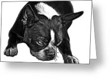 Greyscale Boston Terrier Art - 8384 - Wb Greeting Card