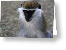 Grivet Monkey Greeting Card