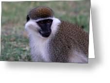Grivet Monkey Ethiopia Greeting Card