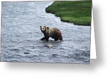 Grizzly At Yellowstone Greeting Card