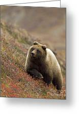 Grizzly Bear In Berries Greeting Card