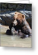 Grizzly Bear Licking His Paw While Seated In A Muddy River Greeting Card