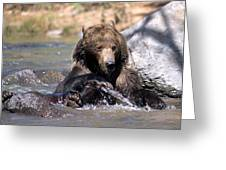 Grizzly Bear Plays In Water Greeting Card